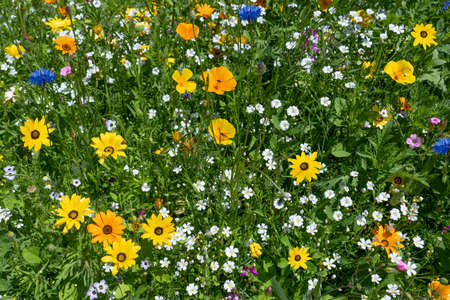 Beautiful colorful flower meadow in summer with flowers mainly in yellow, orange and white