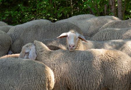 A sheep in a group is looking at the camera over the back of another sheep