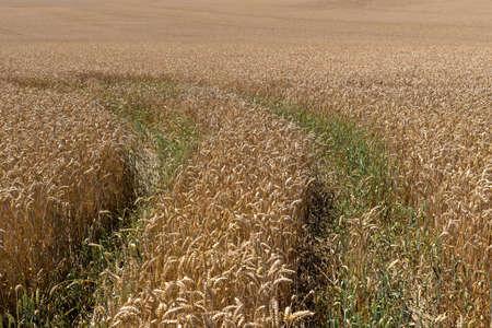 Turning, still green lane in a brown grain field of wheat ears