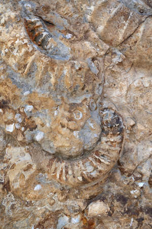 Parts of fossilized ammonites in close-up - archaeology fossils of geological history