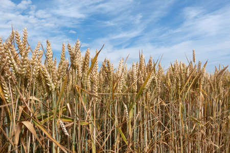 Ears of ripe wheat in close-up against a picturesque sky