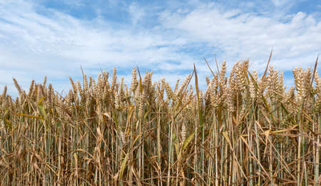Brown ripe ears of wheat in a field in close-up against a picturesque sky Foto de archivo