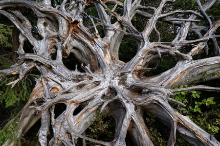 Close-up of old root plate of a tree after windthrow at Lotharpfad in Black Forest National Park, Germany