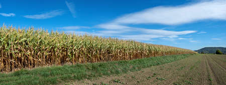 Edge of a corn field with half-withered corn plants after drought in summer Foto de archivo