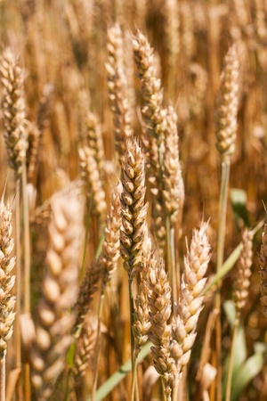 Golden wheat in summer time photo