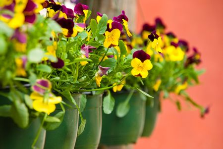 distinctive: Row of green flowerpots with colorful pansies Stock Photo