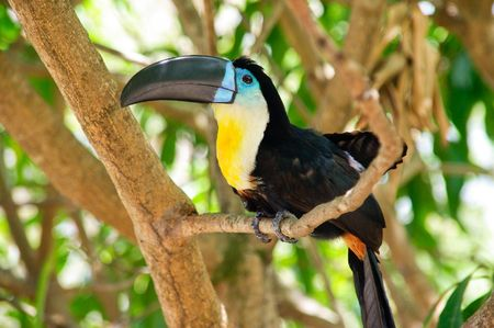 Colorful bird called toucan sitting on branch photo