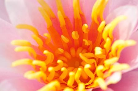 stigmate: Gros plan de lilly eau floraison Rose et jaune stigmate