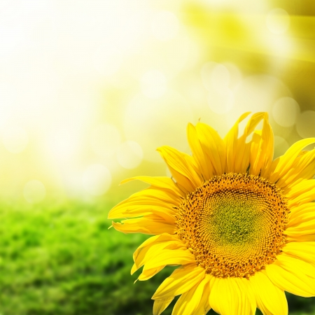 background nature: Abstract background with sunflowers over field and sunlight Stock Photo