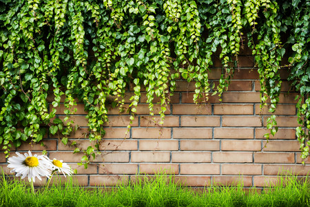 agriculture wallpaper: Fresh spring green leaves plant and grass with camomile flower over brick wall background Stock Photo