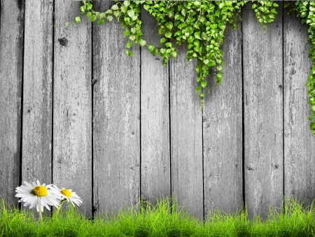 Fresh spring green grass with white flower camomile and leaf plant over wood fence