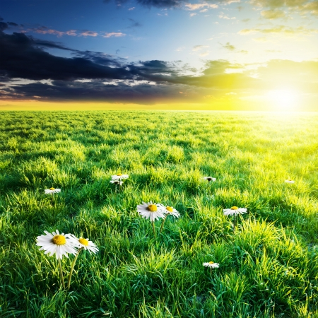 whitw: Green field with whitw flowers under sunset sky. Beauty nature background