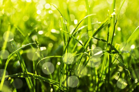 Green grass with water drops, close-up  Natural background photo