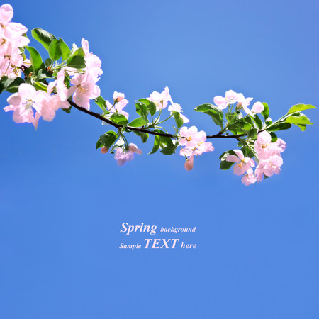 cherry tree: Spring white blossom against blue sky