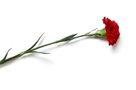 白い背景に赤いカーネーションの花クローズ アップ