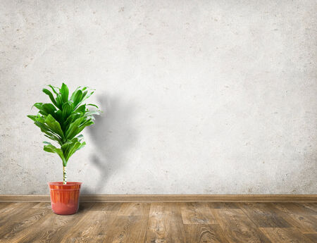 rubber plant: Rubber plant in room with white wall interior background