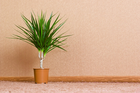 ficus: Green home plant ficus in flowerpot. Interior background Stock Photo