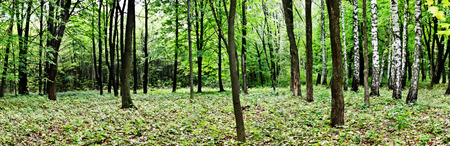 ours: Beautiful spring forest. Panorama view. Beauty nature