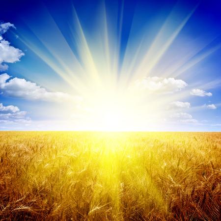 Yellow wheat field under nice sunset cloud sky