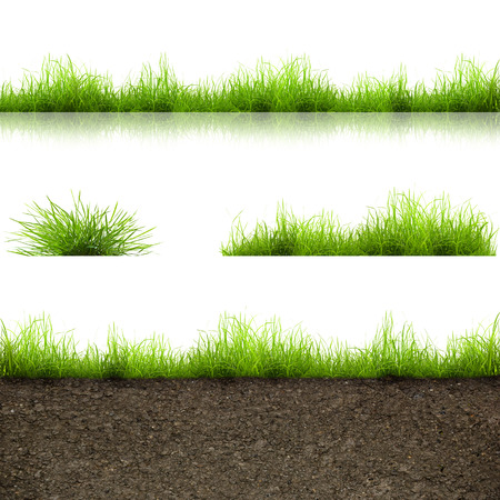 blades of grass: green grass with in soil isolated on white background