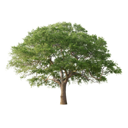 Green tree isolated on white background Stok Fotoğraf