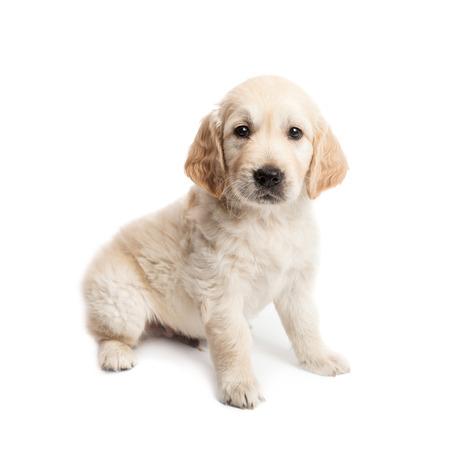 子犬ラブラドール座って、白い背景で隔離のポーズ