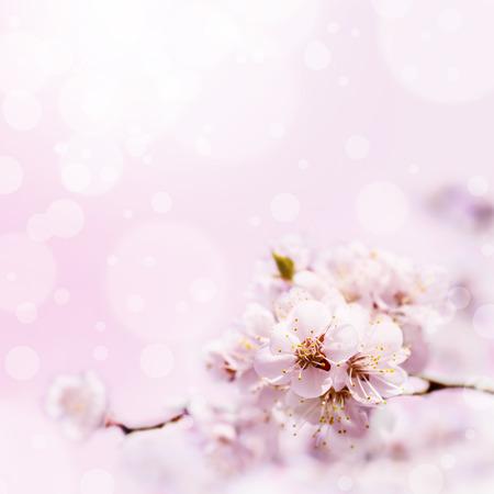 arbol de cerezo: Primavera flor blanca contra el fondo de color rosa suave