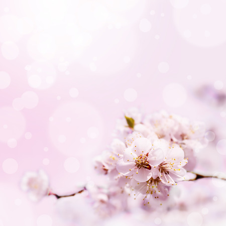 april flowers: Spring white blossom against soft pink background