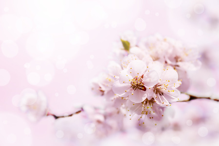 Spring white blossom against soft pink background