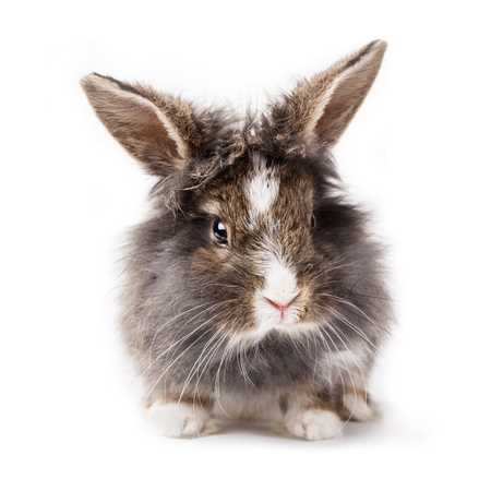 conejo: Grey rabbit isolated on a white background