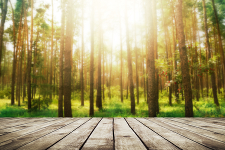 tree branch: Pine forest. Beauty nature background