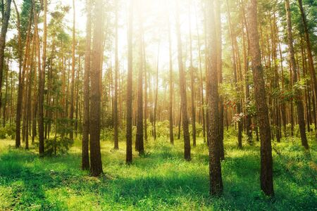 nature beauty: Pine forest. Beauty nature background