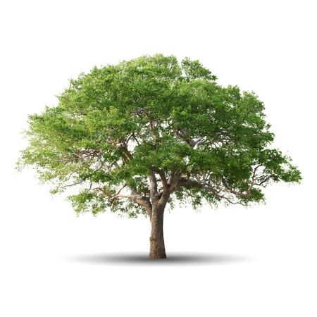 Zielonym drzewie samodzielnie na białym tle