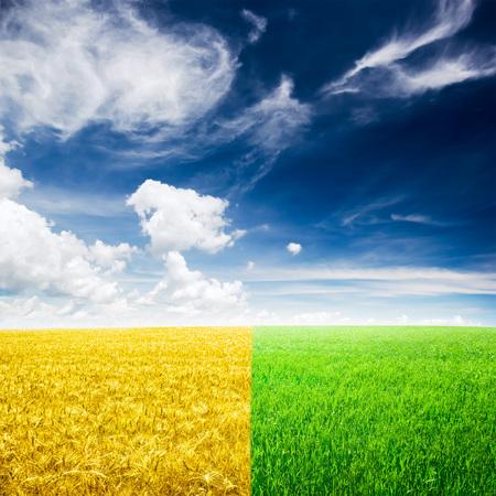 tige: champ de blé jaune et vert et beau ciel bleu et le soleil