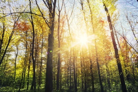 beauty in nature: Sunlight in the autumn forest. Beauty nature background