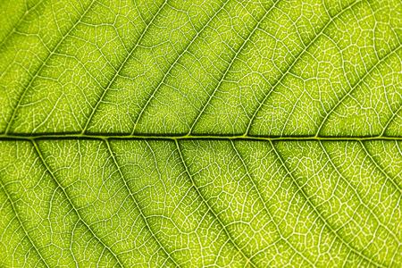 Green leaf close-up background. Macro