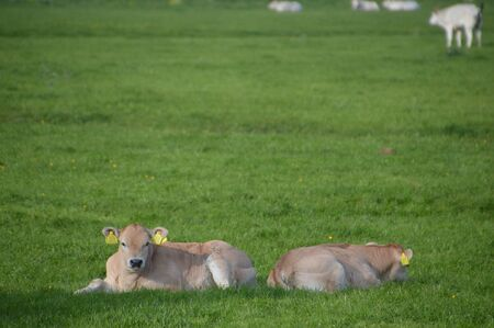 Two Baby Cows In The Grass