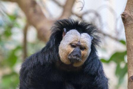 Close-Up White-Faced Saki Monkey