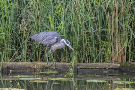 Close Up Of A Heron Hunting For Fish At Amsterdam The Netherlands 25-6-2020