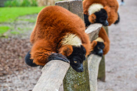 Red Ruffed Lemur At Artis Zoo Amsterdam The Netherlands 2018 Banco de Imagens