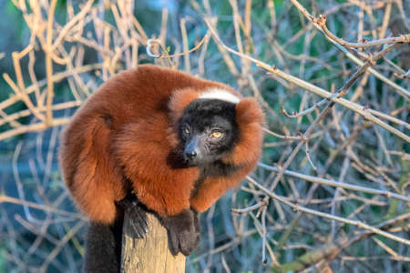 Red Ruffed Lemur At Artis Zoo Amsterdam The Netherlands 12/30/2019