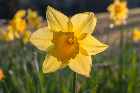 Close Up Of A Yellow Narcissus At Amsterdam The Netherlands 4-4-2020