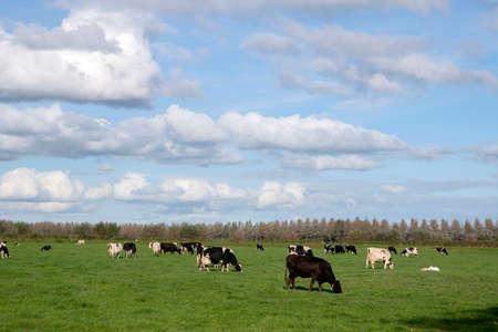 Farmland With Cows At Abcoude The Netherlands