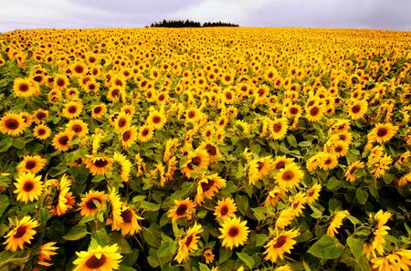 gloucestershire: a field of sunflowers in the cotswolds Stock Photo