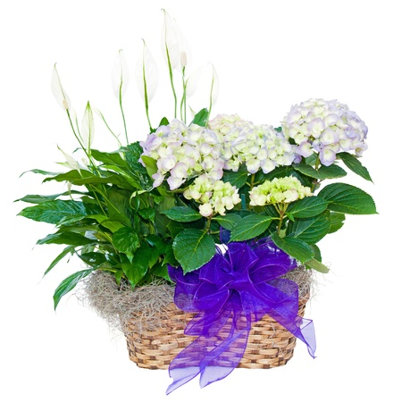 with sympathy: Hydrangea and peace lily flower sympathy arrangement isolated on white