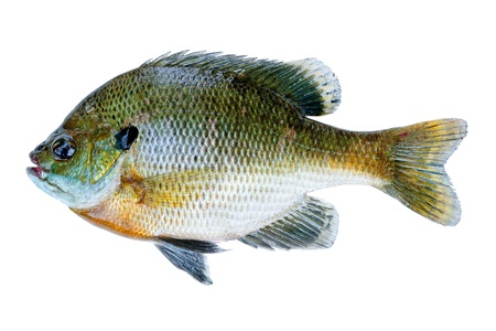 sunfish: Bluegill sunfish, Lepomis Macrochirus, isolated on white