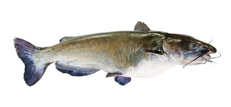 freshwater fish: Flathead catfish, isolated on white background