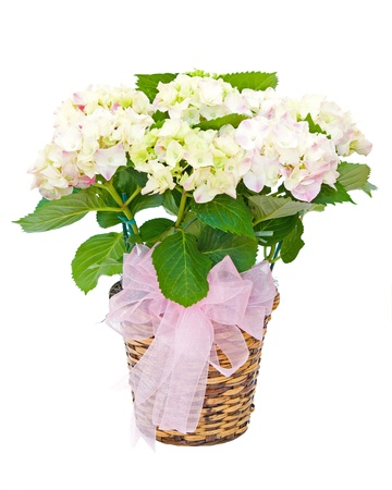 Hydrangea plant sympathy flower arrangement isolated on white  photo