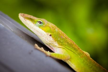 Close up portrait of Carolina anole lizard Stock Photo