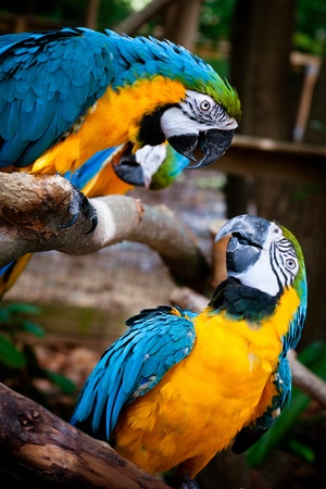 Blue and yellow macaws 스톡 콘텐츠